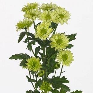 Chrysanthemen grün 80 cm