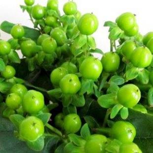 Hypericum grün 60 cm