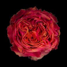 Acapulco  Garden Roses (7ner Bund)