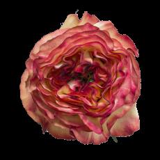 Aruba summer  Garden Roses (7ner Bund)