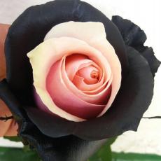 Gefärbt Rosa - Schwarz Aline