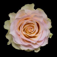 Brinessa  Garden Roses (7ner Bund)