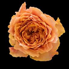 Caraluna  Garden Roses (7ner Bund)