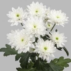 Chrysanthemen weiss 80 cm