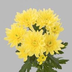 Chrysanthemen gelb 80 cm