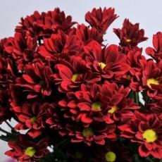 Chrysanthemen rot 80 cm