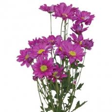Chrysanthemen rosa 80 cm