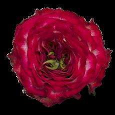 DFR-49 Bi Red  Garden Roses (7ner Bund)