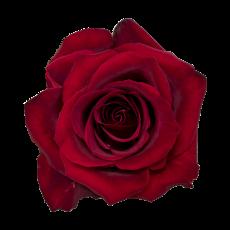 Ever Red (10er Bund)