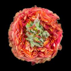 Flash eye  Garden Roses (7ner Bund)