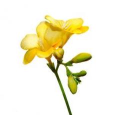 Freesien gelb 10er