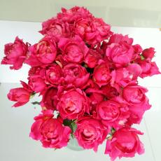 Julieta Cerise  Spray Rosen Garden Typ (7ner Bund)
