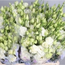 Lisianthus weiss 60 cm