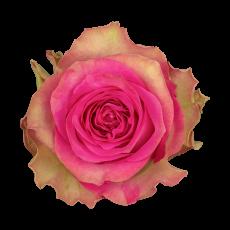 Mijanou Bardot (10er Bund)