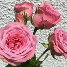 Sprayrosen rosa Odilia