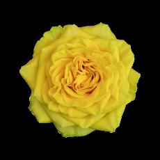 Garden Roses mix (8x 9 ner Bund)