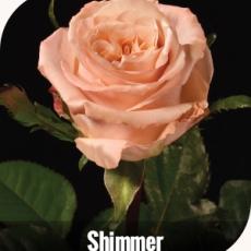 Shimmer 10 er Bund