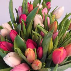 Tulpen Mix 50er