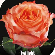 Twilight 50 cm