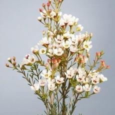 Wachsblumen weiss 60 cm
