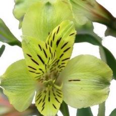 Alstromeria gelb 60 cm