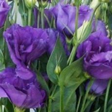 Lisianthus blau 60 cm