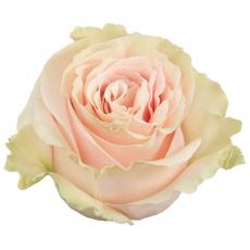Pink Mondial 50 cm