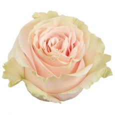 Pink Mondial 60 cm