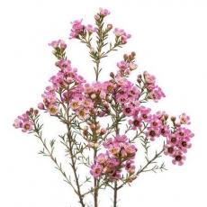 Wachsblumen rosa 60 cm